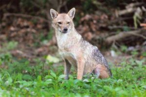 Tolly Club Jackal in wooded area