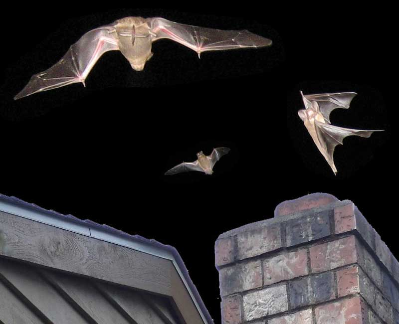 Bats entering the house bring death